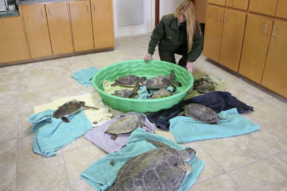 Stunned green sea turtles that were rescued Nov. 27 in the Galveston area are slowly recovering. At least 184 of the endangered reptiles have been discovered suffering from the cold. / handout