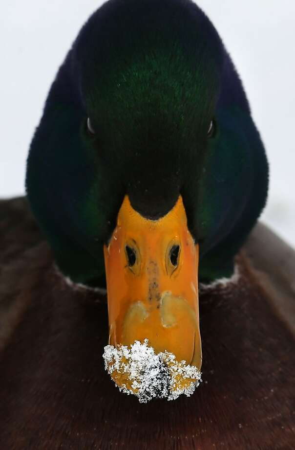 Quack addict: While rooting around in Eugene, Ore.'s Alton Baker Park, a mallard snorts snow with a bill. Photo: Kevin Clark, Associated Press