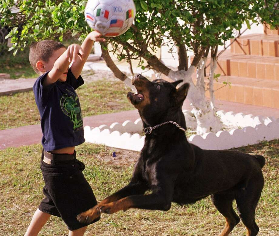 Elian Gonzalez plays with Negra, a family pet, Sunday, Jan. 23, 2000, as he spends another day with his relatives while waiting to find out whether he is to be returned to his father in Cuba or to remain in Miami with relatives here. (AP Photo/Alan Diaz) Photo: AP