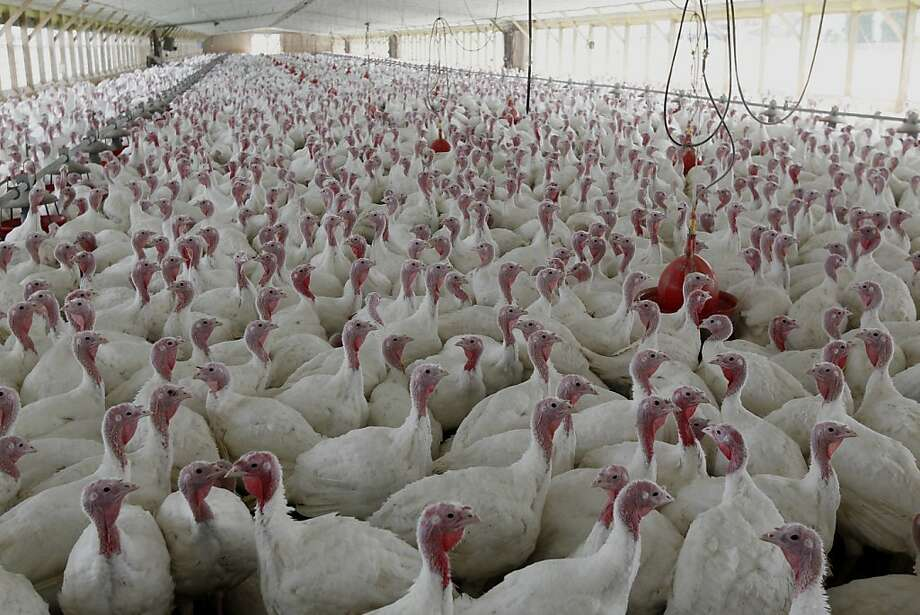 Using antibiotics to promote growth in turkeys and other animals processed for meat would be illegal under the plan. Photo: Matt Rourke, Associated Press