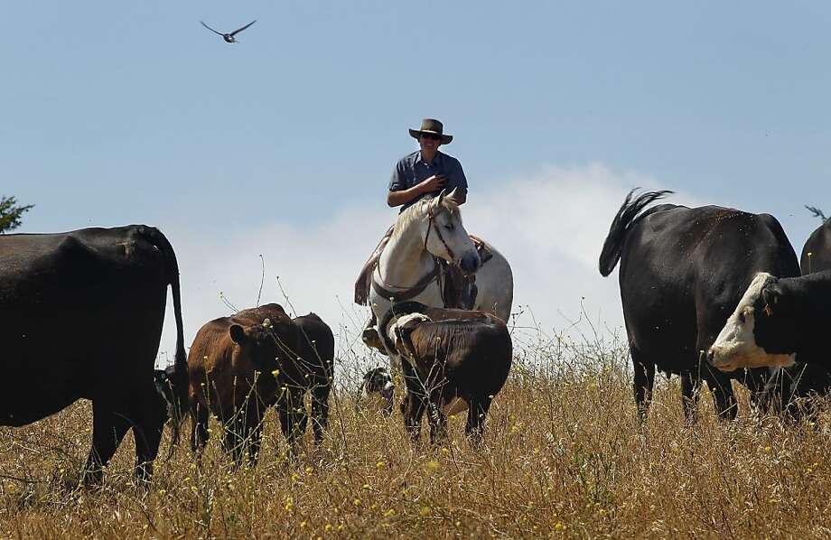 Leftcoast Grassfed in Pescadero is an example of a ranch that has successfully bred cattle without the use of antibiotics. Photo: Michael Macor, The Chronicle