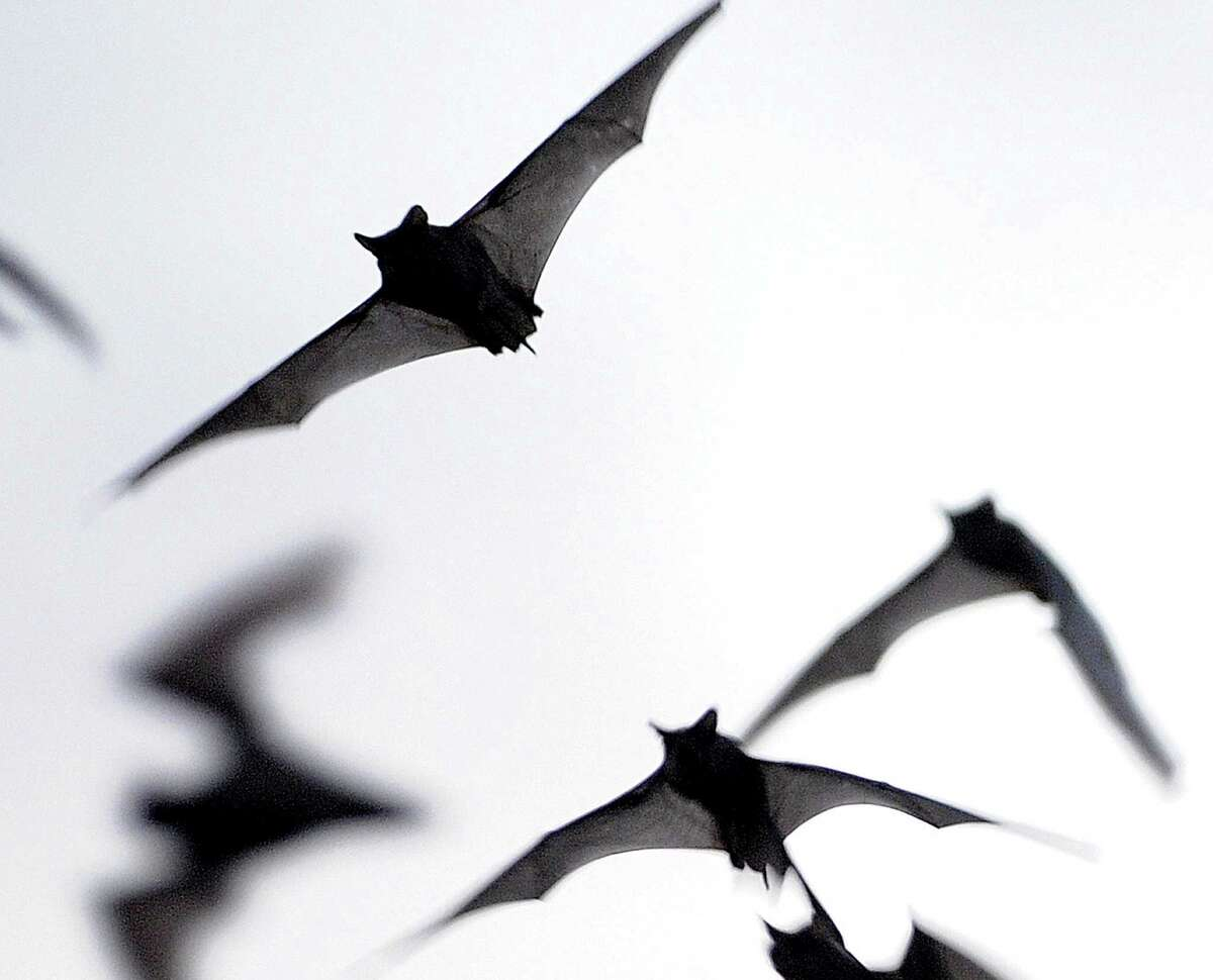 Millions of Mexican free-tailed bats emerge from the Bracken Bat Cave.