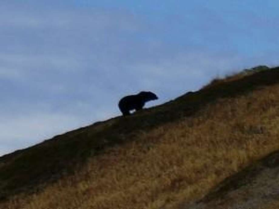 "Unwelcome in the North Cascades:  What appears to be a grizzly bear, the most likely sighting since the 1960′s, climbs a ridge in the North Cascades National Park. The U.S. House of Representatives has passed a bill blocking reintroduction of ""ursus horribilis"" to the North Cascades."""