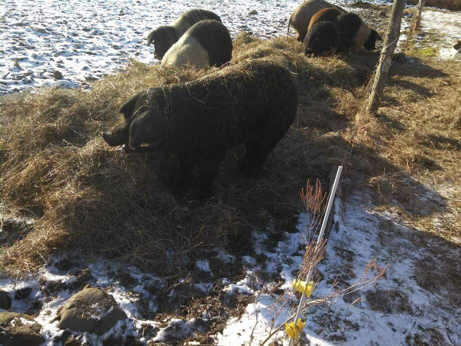 Oynx, a 500-pound, 4-year-old sow, did not seem to be bothered by a plunge through thin ice on a pond Thursday afternoon on West Wind Acres farm in West Charlton before farmer Joshua Rockwood and landowner Bob Bintz used a rowboat and rope to pull the pig to safety. (Photo courtesy of Joshua Rockwood)