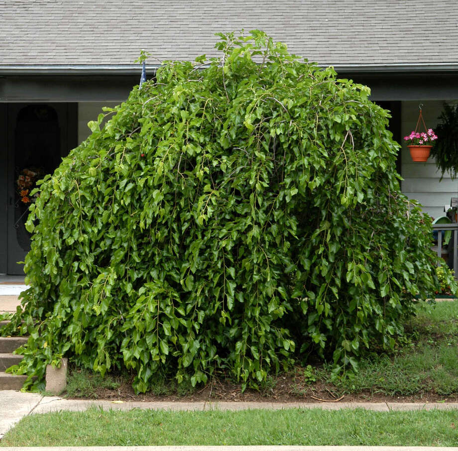 The unusual form of a weeping mulberry makes it an interesting feature in the landscape. Photo: Courtesy Neil Sperry