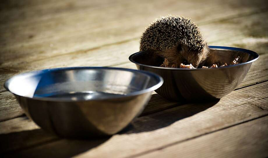 Stolen food tastes best: A hedgehog helps itself to a bowl of dog kibble on a wooden terrace in Lengenfeld, Germany. With winter coming, the prickly little creatures are trying to build up fat for hibernation. Photo: Nicolas Armer, AFP/Getty Images