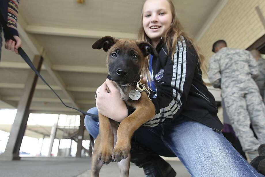Here comes Trouble:Anica Basica holds Trouble, a Belgian Malinois puppy, at Joint Base San Antonio - Lackland, where foster families were meeting their Department of Defense canines for the first time. Under the   Military Working Dog Breeding Program, several families provide homes for the puppies for several months before the animals begin formal training. Photo: Kin Man Hui, San Antonio Express-News