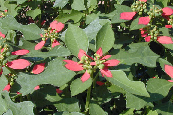 The blooms of the Texas poinsettia attract a variety of insects, such as butterflies and spinx moths.