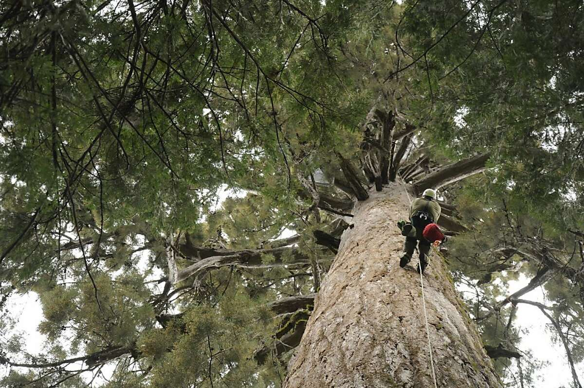 Randall Frizzell (namesake for one of the species) climbs a tree to service traps in this undated photo taken in the Sierra Nevada mountains in California. Two traps, covered in white netting, are visible in the image.