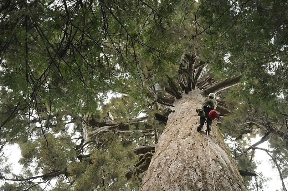 Randall Frizzell, the namesake for one of the species, climbs a tree to service traps in the Sierra Nevada in California. Photo: Courtesy Save The Redwoods