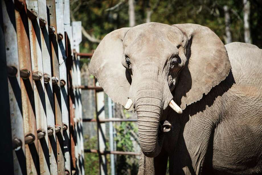 Bill Swain's 29-year-old African elephant Page stands in her pen, Tuesday, Dec. 10, 2013, in Cut and Shoot.  Swain has made a career showing his elephants at Renaissance Festivals, weddings, private parties and Christmas manger scenes.  ( Michael Paulsen / Houston Chronicle ) Photo: Michael Paulsen, Staff / © 2013 Houston Chronicle