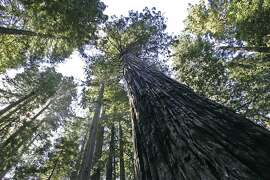 NORTHCOAST14_470_MJM.jpg  Towering old growth redwoods at Lady Bird Johnson Grove - part of Redwood National Park near Orick. Named after the former president's wife when the national park was dedicated in 1968. Today, the kayakers paddled 21.5 miles from the mouth of the Klamath River to Hidden Beach near Orick. Their journey took them past the Redwood National and State Parks. Rediscovering California's North Coast. A kayak voyage by Paul McHugh, Bo Barnes and John Weed. A paddle from the Oregon border to the SF bay. Photo taken on 9/13/05 in Orick, CA by Michael Maloney / San Francisco Chronicle Ran on: 07-15-2007 A real dead-end: Once you've gone this far, there's apparently no way out in Nicholas, Ky.  Submit your unintentionally funny sign photos to www.signspotting.com. (Do not send them to The Chronicle.) If we use one, you will receive $50 plus the chance to win an around-the-world ticket.  Ran on: 09-23-2009 Biomass removal: a question of old-growth protection.