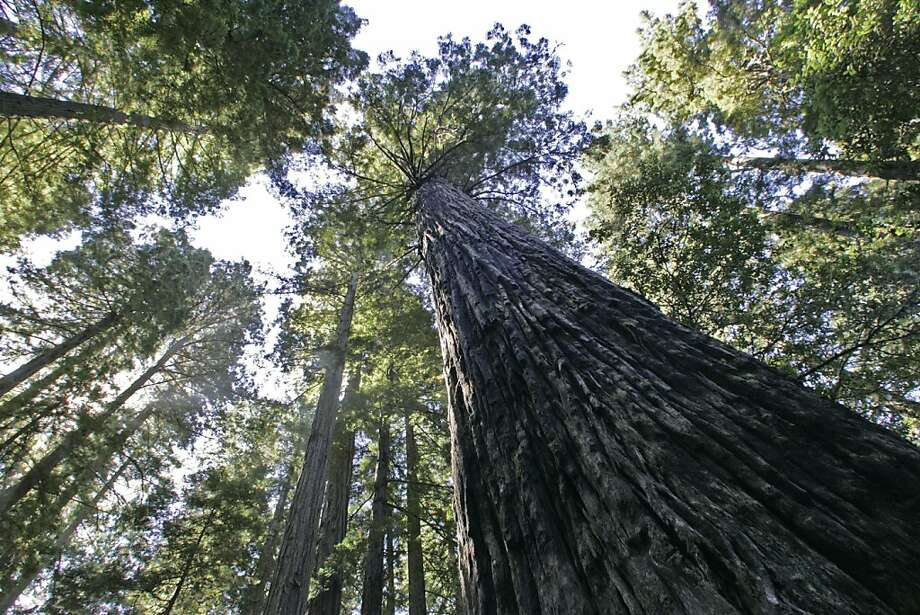 Old-growth redwoods tower overhead at the Lady Bird Johnson Grove in Redwood National Park. Photo: Michael Maloney, The Chronicle 2005