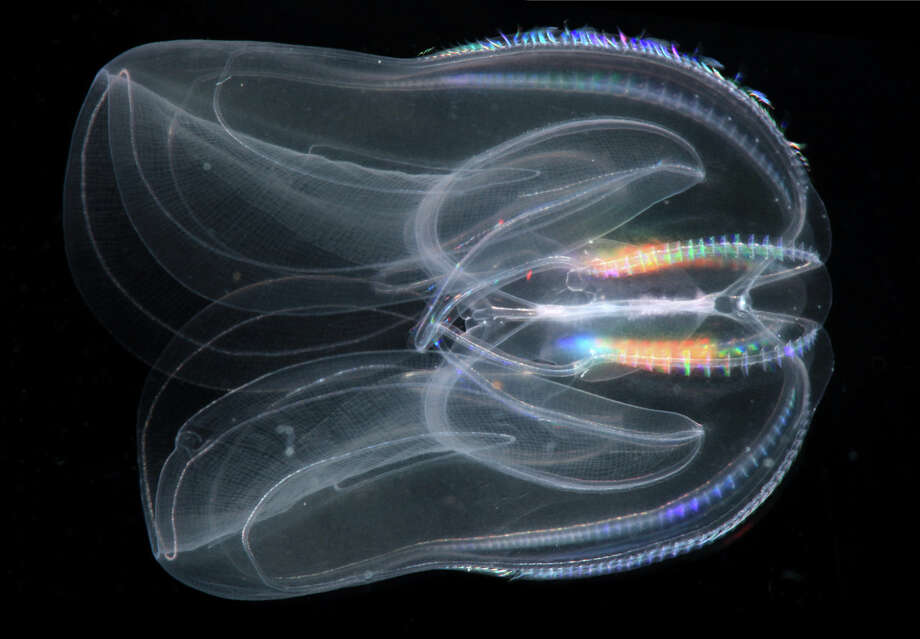 This undated image provided by the Sars International Center for Marine Molecular Biology, University of Bergen, Norway via the journal Science in December 2013 shows a Mnemiopsis leidyi, a species of comb jelly known as a sea walnut. A new study published online Thursday, Dec. 12, 2013 in the journal Science says comb jellies, a group of gelatinous marine animals, represent the oldest branch of the animal family tree.Read more here: Are Comb Jellyfish Humans' Oldest Ancestors? Sea Walnut Is 'Crucial' To Evolution, Scientists Say Photo: Uncredited, AP / AP2013