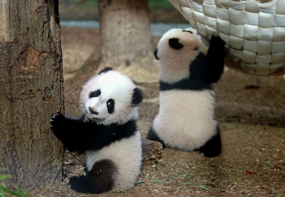 Giant Panda four-month-old twin cubs Mei Lun, left, and Mei Huan play in their habitat at Zoo Atlanta Friday, Dec. 13, 2013, in Atlanta. DNA testing has confirmed that three young giant pandas born at Atlanta's zoo that were thought to be males are actually females. (AP Photo/Atlanta Journal-Constitution, Jason Getz)  Photo: Jason Getz, AP / Atlanta Journal-Constitution