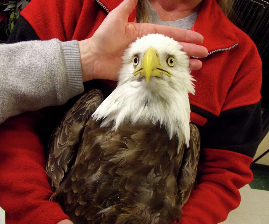This undated image provided by the Wildlife Rehabilitation Center of Northern Utah shows one of four bald eagle that was brought into the center, but eventually died. They each had symptoms: body tremors and paralysis. Four bald eagles have died in northern Utah in the past two weeks, raising alarms among state wildlife officials. Photo: AP / Wildlife Rehabilitation Center of Northern Utah