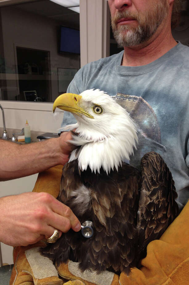 This undated image provided by the Wildlife Rehabilitation Center of Northern Utah shows one of four bald eagle that was brought into the center, but eventually died. They each had similar symptoms: body tremors and paralysis. Four bald eagles have died in northern Utah in the past two weeks, raising alarms among state wildlife officials. Photo: AP / Wildlife Rehabilitation Center of Northern Utah