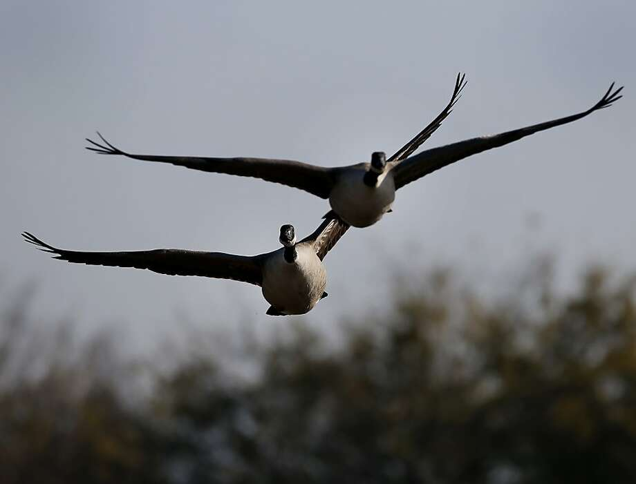 Canada geese are one bird in plentiful supply during the tally. Photo: Brant Ward, The Chronicle
