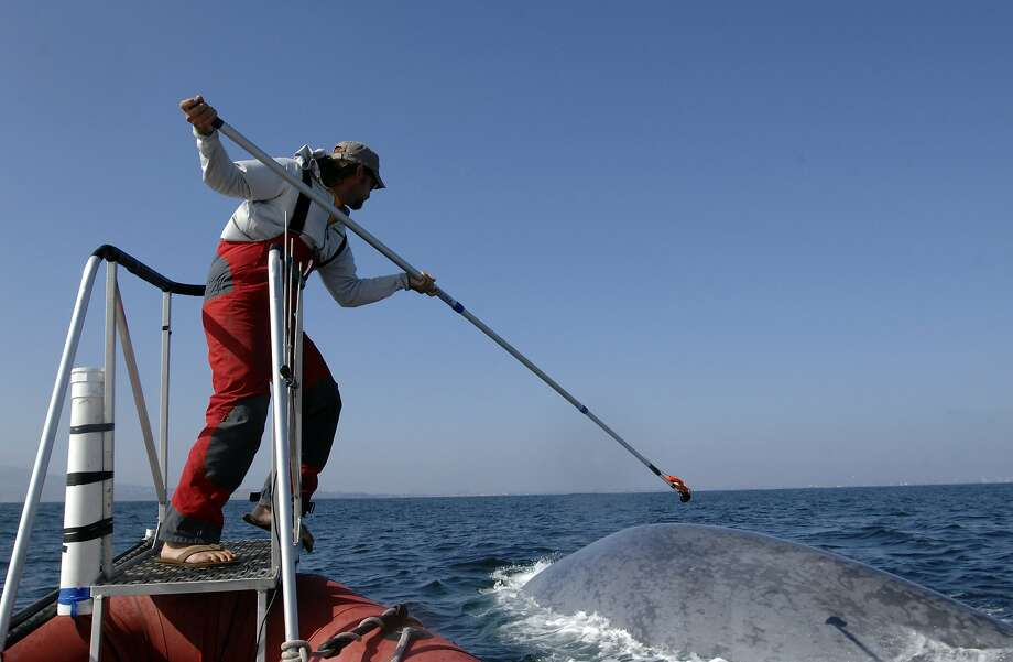 This undated image provided by the SOCAL-BRS project shows a researcher tagging a blue whale off the coast of Southern California. Two recent studies off Southern California found certain endangered blue whales and beaked whales stopped feeding and fled from recordings of noise similar to military sonar. (AP Photo/SOCAL-BRS project) Photo: Associated Press