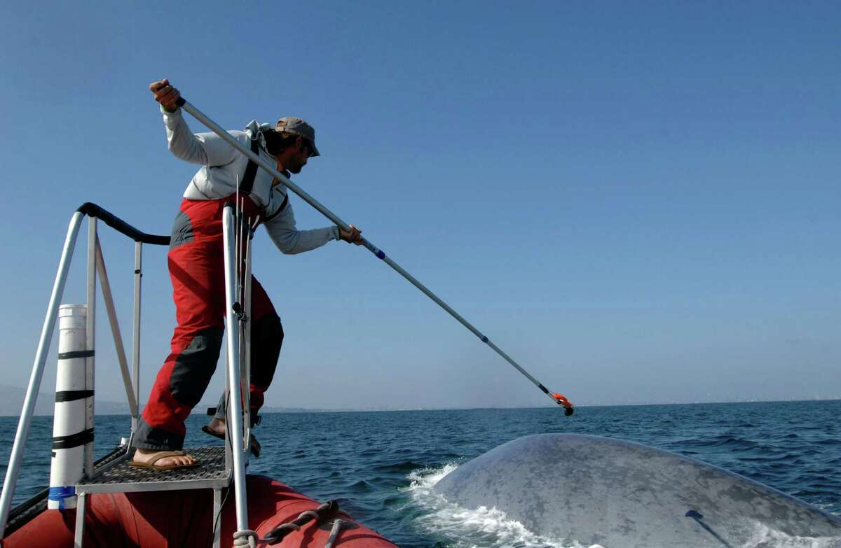 This undated image provided by the SOCAL-BRS project shows a researcher tagging a blue whale off the coast of Southern California. Two recent studies off Southern California found certain endangered blue whales and beaked whales stopped feeding and fled from recordings of noise similar to military sonar.
