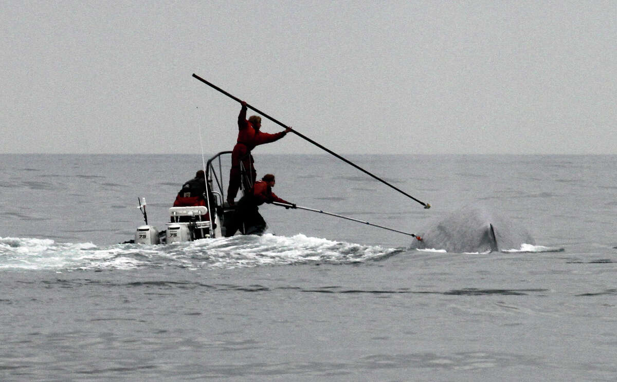 This undated image provided by Cascadia Research shows researchers tagging a blue whale off the coast of Southern California. Two recent studies off Southern California found certain endangered blue whales and beaked whales stopped feeding and fled from recordings of noise similar to military sonar.