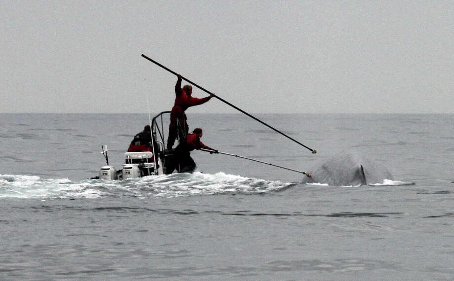 This undated image provided by Cascadia Research shows researchers tagging a blue whale off the coast of Southern California. Two recent studies off Southern California found certain endangered blue whales and beaked whales stopped feeding and fled from recordings of noise similar to military sonar. Photo: John Calambokidis, AP / Cascadia Research
