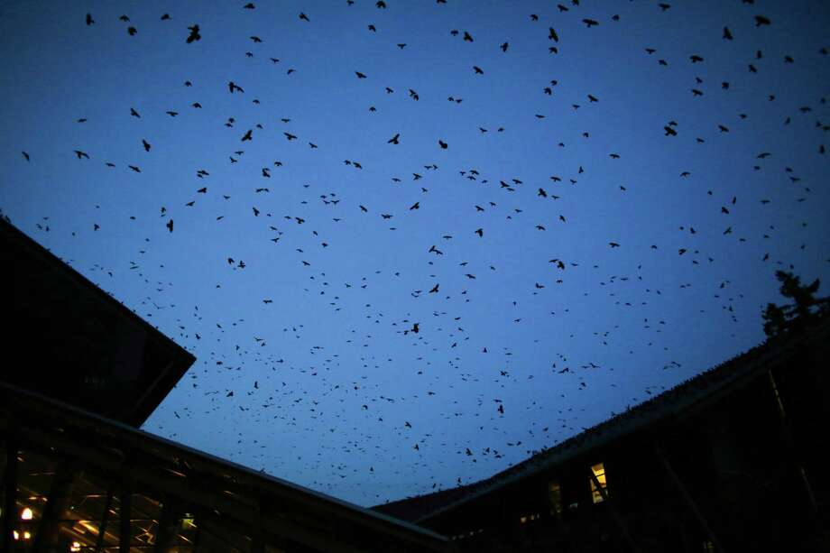 March 4, 2013 — A murder of crows swirls above the University of Washington Bothell campus. The birds roost in a nearby riparian area and can be a sight to see as tens of thousands of the birds gather there each night. Photo: JOSHUA TRUJILLO, SEATTLEPI.COM / SEATTLEPI.COM