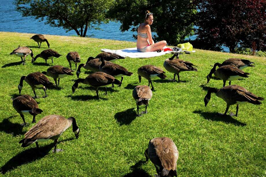 July 24, 2013 — A woman's sunbathing is interrupted by a flock of feeding, roving Canada geese at Gas Works Park in Seattle. Photo: JORDAN STEAD, SEATTLEPI.COM / SEATTLEPI.COM