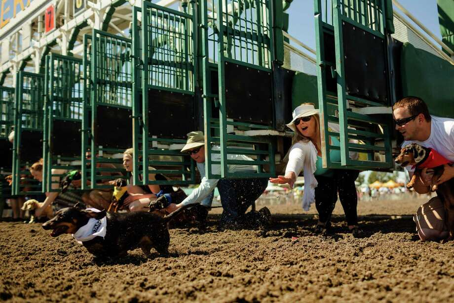 July 14, 2013 — Ashley Justice, second from right, lets out a shriek of surprise as her miniature dachshund, Harley, left, takes off early from the gate during the second qualifying heat at the 17th Annual Kent & Alan Wiener Dog Races at Emerald Downs in Auburn. Three heats of short-legged competition had crowds cheering and participating dog owners rooting for their own little canine athlete. Photo: JORDAN STEAD, SEATTLEPI.COM / SEATTLEPI.COM