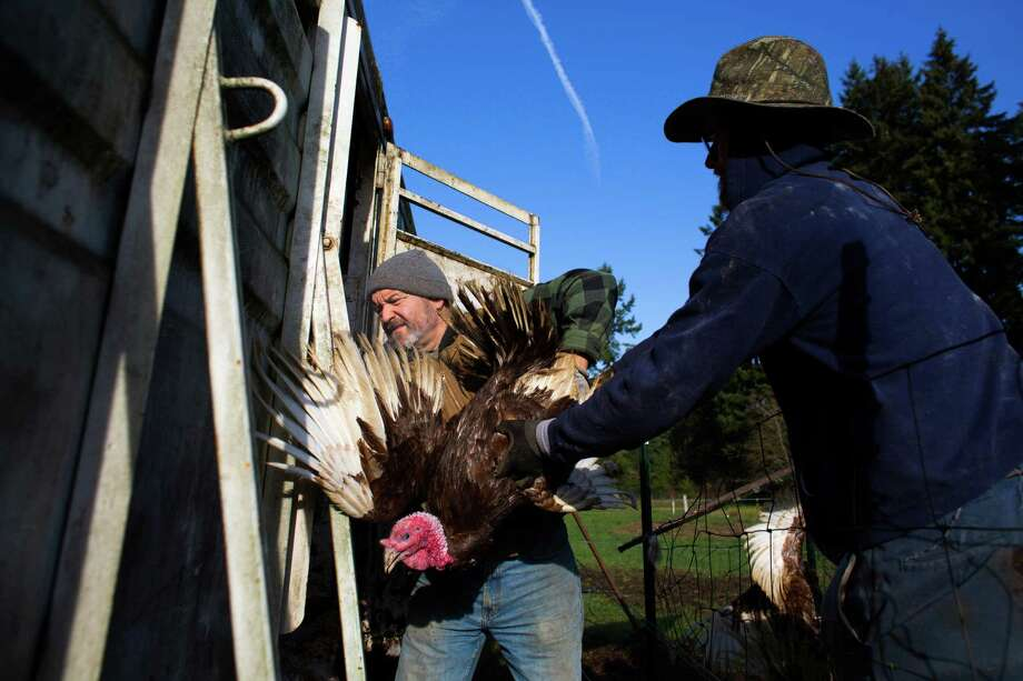 """November 22, 2013— Jerry Stokesberry and Alan """"Moe"""" Rochester wrangle turkeys into a trailer for transport from the field where they are raised near Olympia. Stokesberry started farming 10 years ago after a career as a massage therapist. He sells his products, which include grass-fed beef, organic turkey, pork, organic duck and chicken meat and eggs at Seattle area farmers markets. """"A farmer doesn't have a job,"""" he said after gathering nearly 100 turkeys. """"They have a lifestyle."""" Photo: JOSHUA TRUJILLO, SEATTLEPI.COM / SEATTLEPI.COM"""