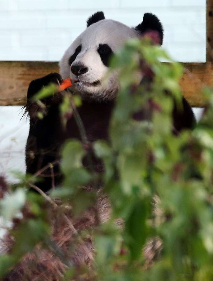 Eh, what's up, Doc?A giant panda named Tian Tian normally chows down on bamboo at Edinburgh Zoo in Edinburgh,   Scotland, but every now and then he'll crunch a carrot. Photo: Scott Heppell, Associated Press
