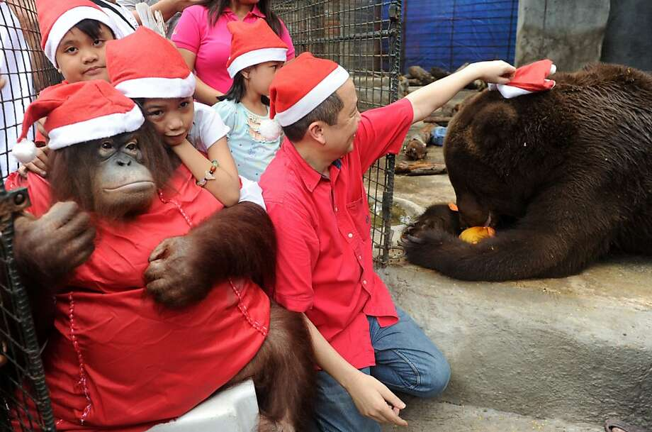 Have you hugged your great ape today?Santa's helper Pacquiao the orangutan is accepting hugs at Manny Tangco's Malabon Zoo in suburban Manila. Justin BieBear appears to be more interested in squeezing fresh fruit than children, however. Photo: Jay Directo, AFP/Getty Images
