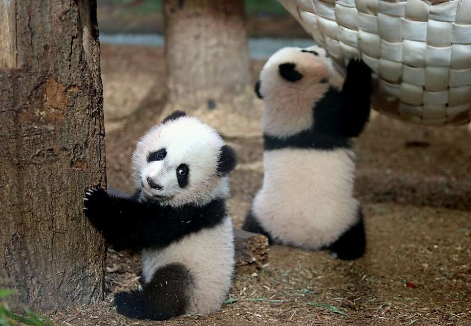 You thought we were boys? Eww! The Atlanta Zoo says that DNA testing has confirmed that 4-month-old twin males Mei Lun (left) and Mei Huan are actually females. Photo: Jason Getz, Associated Press