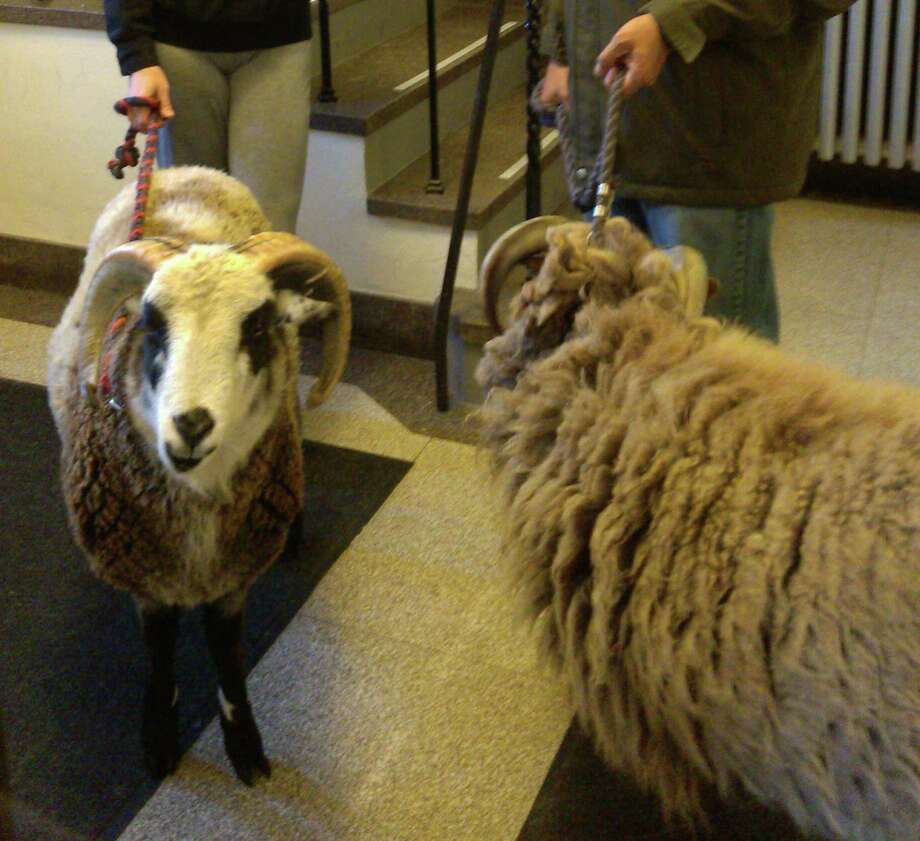 Two sheep rammed their way through a gate Monday morning and escaped from the living crèche that is on display outside First Congregational Church of Greenwich. The two escapees were quickly caught and shepherded back to their enclosure. Photo: Contributed Photo / Greenwich Citizen