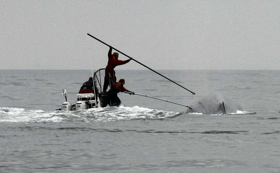 This undated image provided by Cascadia Research shows researchers tagging a blue whale off the coast of Southern California. Two recent studies off Southern California found certain endangered blue whales and beaked whales stopped feeding and fled from recordings of noise similar to military sonar. (AP Photo/Cascadia Research, John Calambokidis) Photo: John Calambokidis, Associated Press