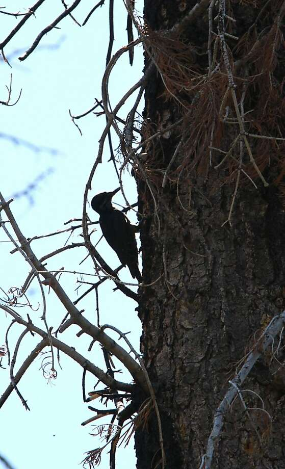 FILE - In this July 6, 2010 file photo, a rare black-backed woodpecker is seen in the burned remains of the Angora Fire near South Lake Tahoe, Calif.  Conservationists are seeking Endangered Species Act protection for the rare woodpecker that feeds on beetles in burned forests. Four groups filed the listing petition Wednesday, May 2, 2012, for the black-backed woodpecker in the Black Hills, the Sierra Nevada and Eastern Cascades of Oregon. (AP Photo/Rich Pedroncelli, File) Photo: Rich Pedroncelli, Associated Press