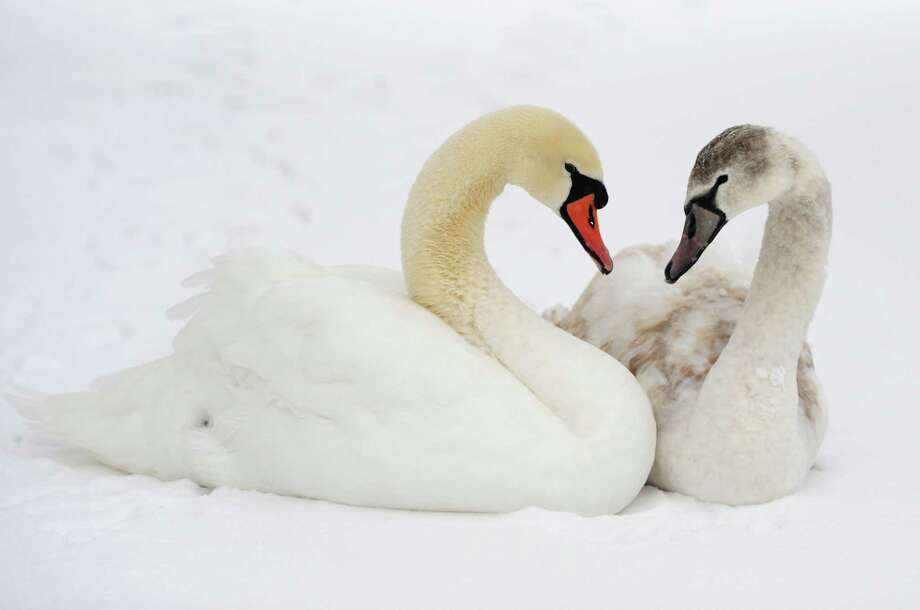 A mature, left, and juvenile mute swan chill on the frozen, snow-covered Rogers Park Pond in Danbury, Conn. on Tuesday, Dec. 17, 2013. Photo: Tyler Sizemore / The News-Times