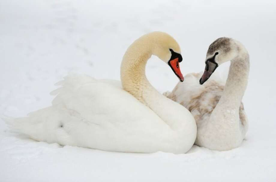 An adult, left, and juvenile mute swan chill on the frozen, snow-covered Rogers Park Pond in Danbury, Conn. on Tuesday, Dec. 17, 2013.
