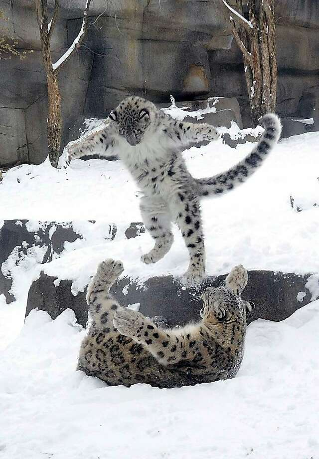 SURPRISE!Like any good son, 6-month-old Everest the snow leopard, enjoys surprising his mother at the Brookfield 