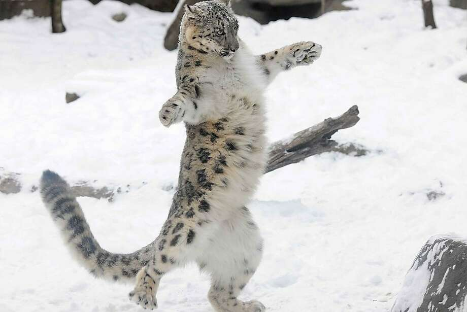 Imaginary tightrope: Everest the snow leopard is as deft on two legs as he is on four. (Brookfield Zoo.) Photo: Jim Schulz, Associated Press