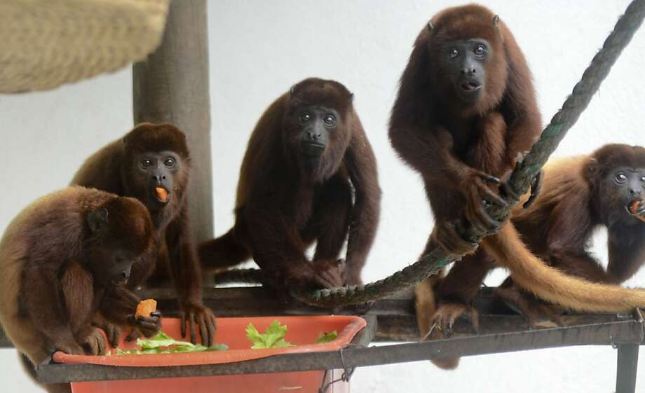 The faux pas:Winston accidentally steps in the salad, causing an awkward silence in the red howler monkey 