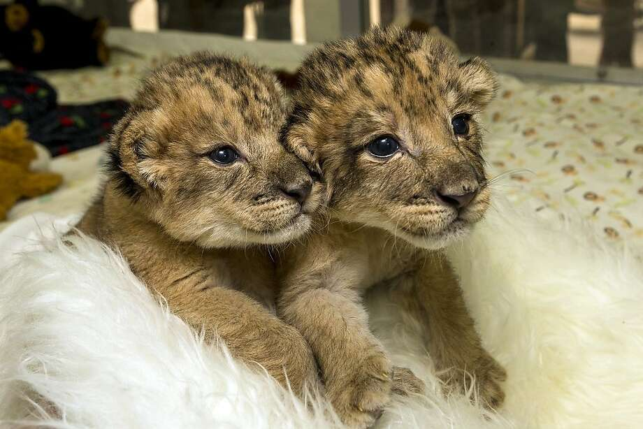 Stop scaring my sister: A 10-day-old lion cub holds the paw of his twin sister (left) at San Diego Zoo Safari Park. 