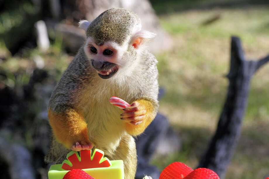 In a Monday, Dec, 16, 2013 photo provided by Six Flags Discovery Kingdom, Luke, a five-year-old male squirrel monkey, takes a candy cane treat at Six Flags Discovery Kingdom in Vallejo, Calif. The candy cane was a minor distraction before he set his sights on a more palatable taste – crackers. (AP Photo/Six Flags Discovery Kingdom, Nancy Chan) Photo: Nancy Chan, HOEP / Six Flags Discovery Kingdom