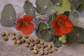 Caption: Seeds of cool-preferring annual flowers, such as nasturtium, can usually be planted in more than one season, while warmth-preferring annuals are usually planted in the spring