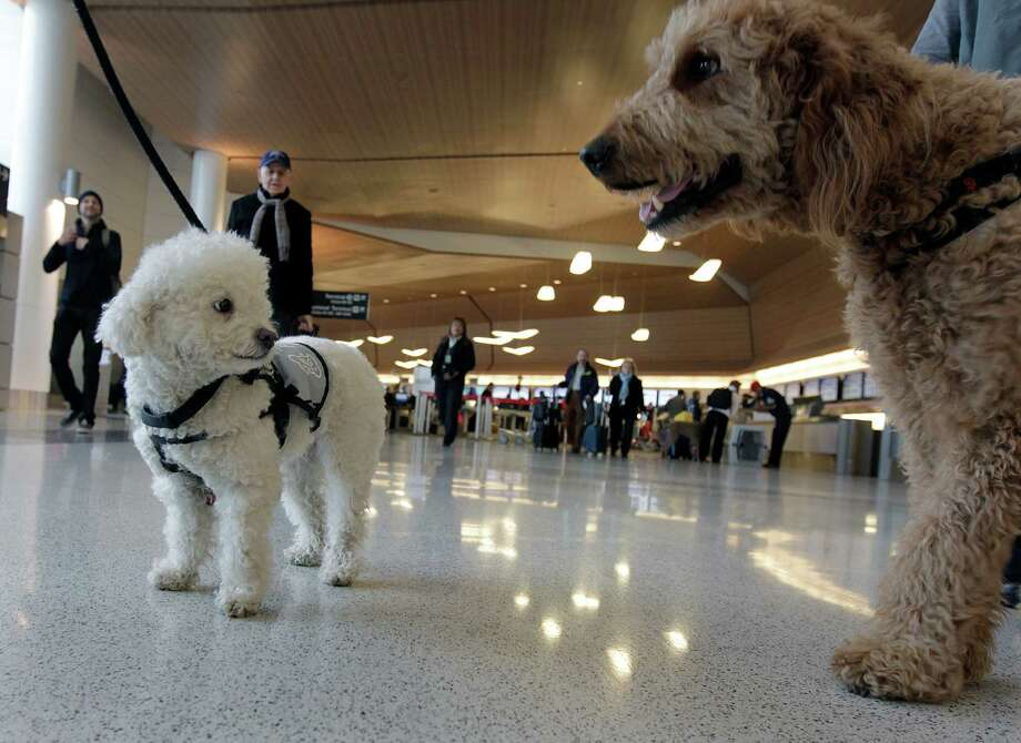 Lady Jenna Barbara, left, and Toby are ready to meet passengers at San Francisco International Airport early this month. Therapy dogs are fanning out at the airport to help calm the nerves of travelers during the holiday season. Photo: Paul Chinn, Staff / ONLINE_YES
