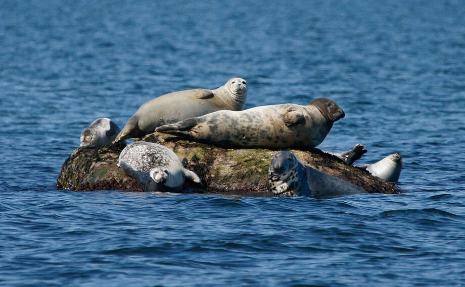 Cruise out for the chance to see some of the seals that spend their winters in Long Island Sound during The Maritime Aquarium at Norwalk's new season of Seal-Watching Cruises, beginning Saturday, Dec. 28. Photo: Contributed Photo / Connecticut Post Contributed