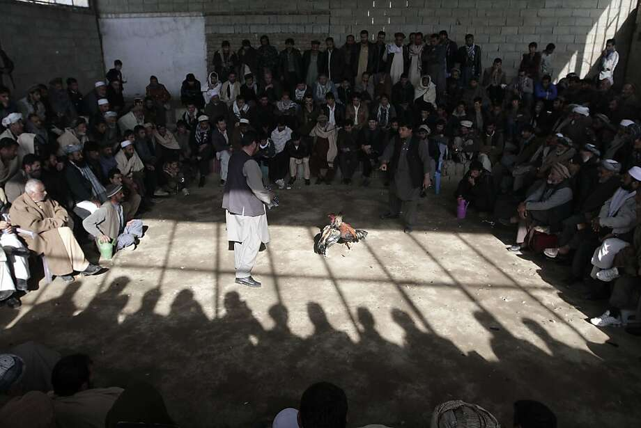 In these photos, Afghan men watch a cockfighting match in Kabul. For generations, roosters have been bred for fighting. Under the Taliban, cockfighting was banned as un-Islamic. Photo: Rahmat Gul, Associated Press