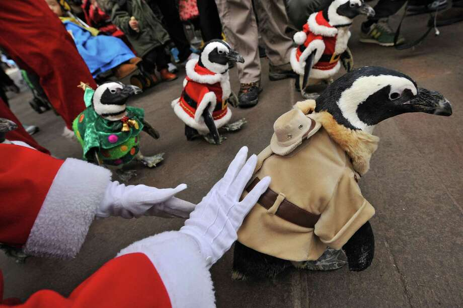 Penguins dressed in zookeeper (front) and Christmas costumes (behind) are paraded at an amusement park for a promotional event in Yongin, south of Seoul, on December 18, 2013. Everland, South Korea's largest amusement park, organized the event to launch its Christmas festival season.      AFP PHOTO / Woohae CHOWOOHAE CHO/AFP/Getty Images Photo: WOOHAE CHO, Getty / AFP