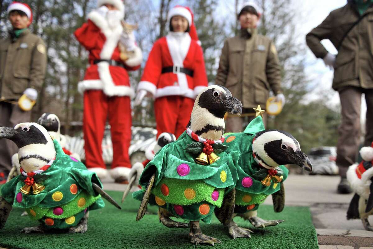 Penguins dressed in costumes are paraded at an amusement park for a promotional event ahead of Christmas in Yongin, south of Seoul, on December 18, 2013. Everland, South Korea's largest amusement park, organized the event to launch its Christmas festival season. AFP PHOTO / Woohae CHOWOOHAE CHO/AFP/Getty Images