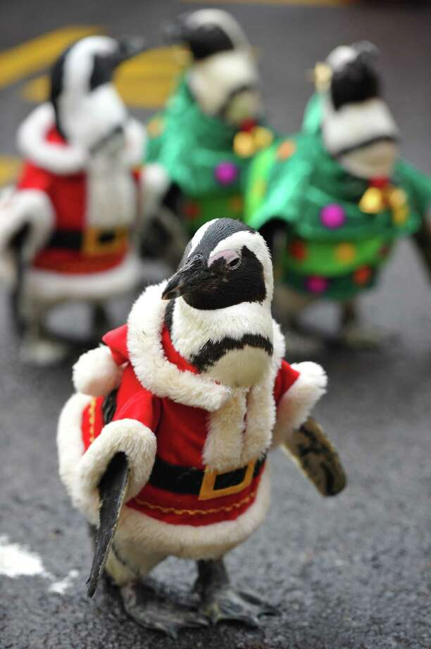 A penguin dressed in a Santa Claus costume is followed by others as they are paraded at an amusement park for a promotional event ahead of Christmas in Yongin, south of Seoul, on December 18, 2013. Everland, South Korea's largest amusement park, organized the event to launch its Christmas festival season.      AFP PHOTO / Woohae CHOWOOHAE CHO/AFP/Getty Images Photo: WOOHAE CHO, Getty / AFP